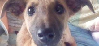"""Brownie """"Cachorro de galgo que fue abandonado con su mamá hace unas semanas. El lugar donde se encuentran ya cuenta con muchos tránsitos y propios por lo que urge encontrarle hogar. Tiene 4 meses y ya está desparasitado y con su primera vacuna obligatoria. Se entrega en domicilio, con seguimiento y castración sin excepción. Si […]"""