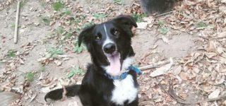 "Duke ""Duke en adopción responsable.Se trata de un cachorrón cruza de Border Collie listo para recibir todos los mimos de una familia!! Es bello, cariñoso, juguetón.Si lo querés conocer comunicate al 0336-154004916""."