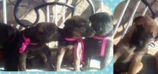 """Bebés """"Cachorros en adopción urgente. Estos 5 hermanitos (4 hembras y 1 macho) fueron abandonados en medio de la nada. Evidentemente quien lo hizo quería otro final para ellos. Afortunadamente fueron rescatados y están listos para un hogar. Tienen 50 días y van a ser tamaño grande. Para quienes gusten de animales de porte grande […]"""