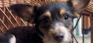 """Rita """"Ella es Rita, rescatada en nuestra ciudad; es una perrita extremadamente cariñosa a la que le encanta jugar. Se lleva bien con otros perritos, es de tamaño chiquito y necesitamos encontrarle un buen hogar. Es la manera de poder seguir rescatando. Si querés conocerla, comunicate al 03400-15663133. Muchas gracias""""."""