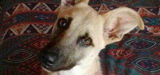 """Zeus """"Zeus te sigue esperando. Tiene 8 meses, pesa 9kg. Es de tamaño chico (no mini). Se lleva bien con otros perros. Está castrado, desparasitado y con su plan de vacunas completo. Animate a conocerlo! Contacto: 03400-15418233. ¡Adoptar, salva vidas! Gracias""""."""
